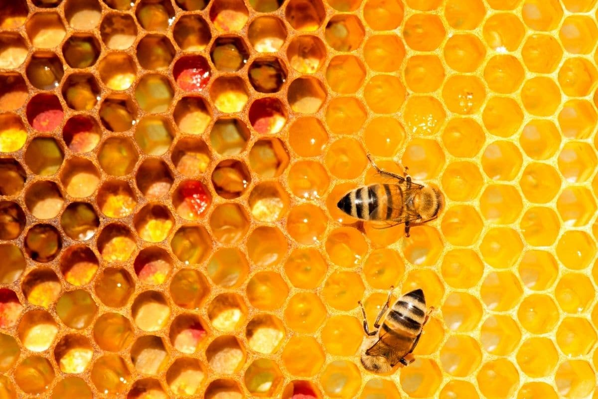 two honey bees near beeswax, hive, and honey